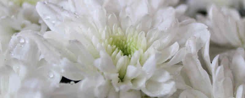 ดอกมัมสวยทนอยู่นาน