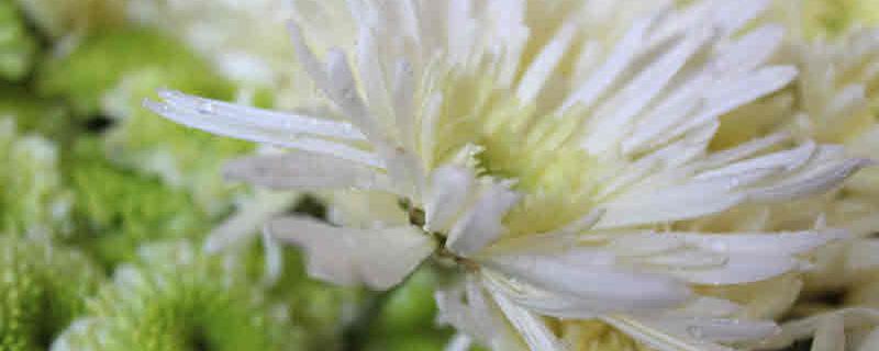 ดอกไม้ต่างๆที่นิยมนำมาทำพวงหรีด