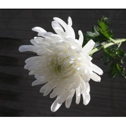 ความหมายของดอกไม้ต่างๆที่นิยมนำมาทำพวงหรีด