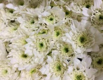 มัมนอก ใช้ทำพวงหรีดดอกไม้สด